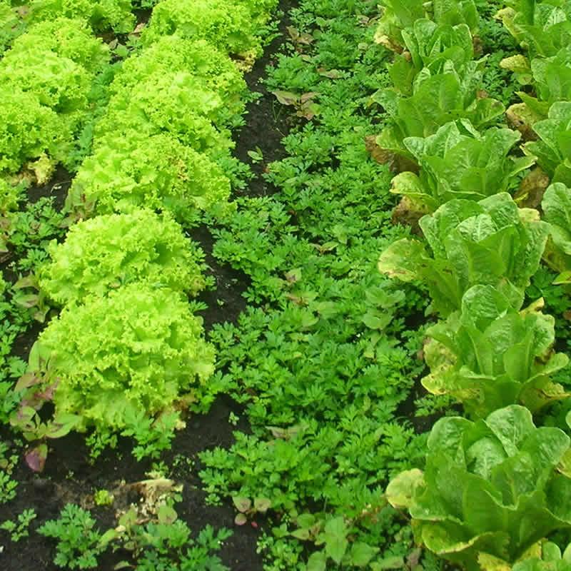 Cultivo de lechugas organicas domicilios en Chia Calera